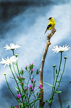 Randall Branham - American Goldfinch Dasie