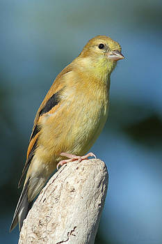 American Goldfinch by Sharon Watson