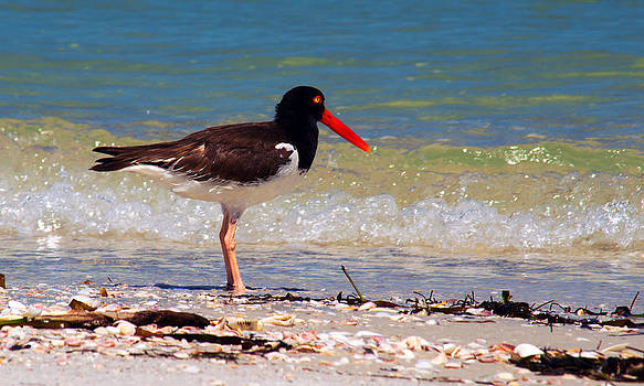 American Oystercatcher by Duane King