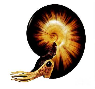 Chase Studio - Ammonite