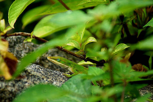 An Angry Anole by Kim Pate