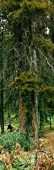 Gail Matthews - An Elk in the Woods