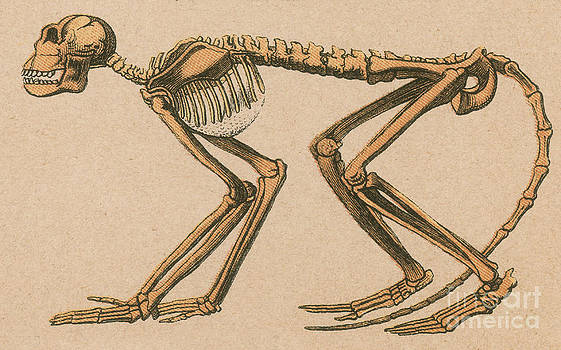 Science Source - Ancient Monkey Mesopithecus Pentelicus