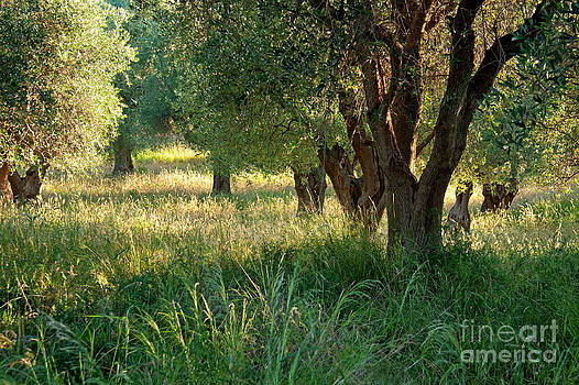 Ancient Olive Trees on the Gargano Coast by Julia Hiebaum