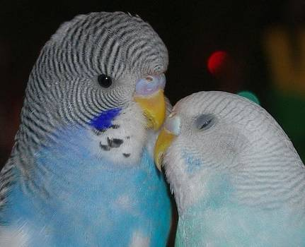 Marilyn Wilson - And They Call It Budgie Love - Greeting Card