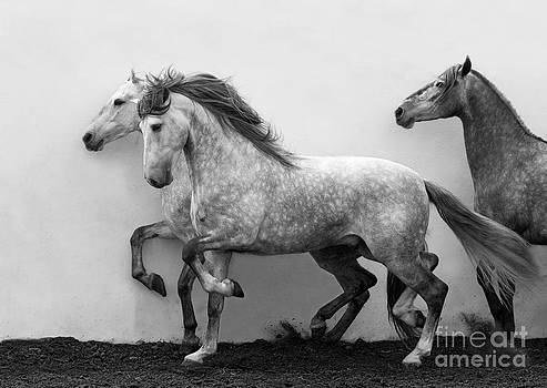 Andalusians in Step by Carol Walker