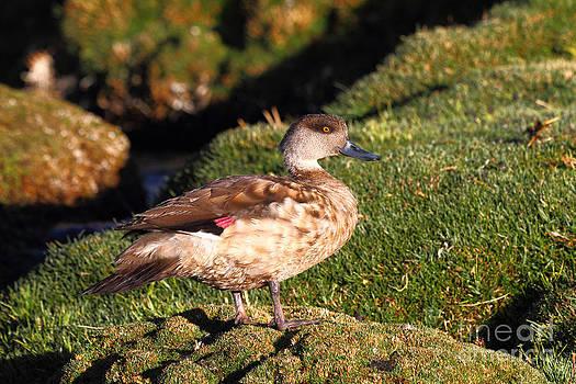 James Brunker - Andean Crested Duck