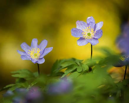 Anemone Beauty by Sarah-fiona  Helme