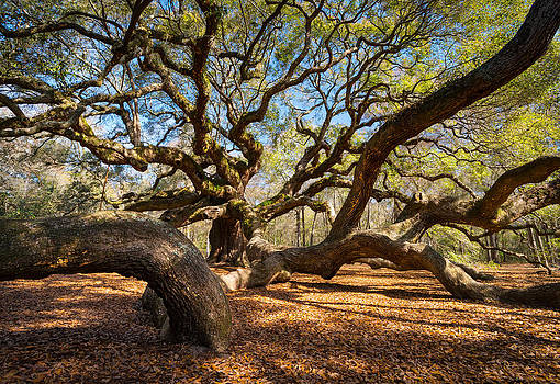 Angel Oak Tree Charleston SC by Dave Allen