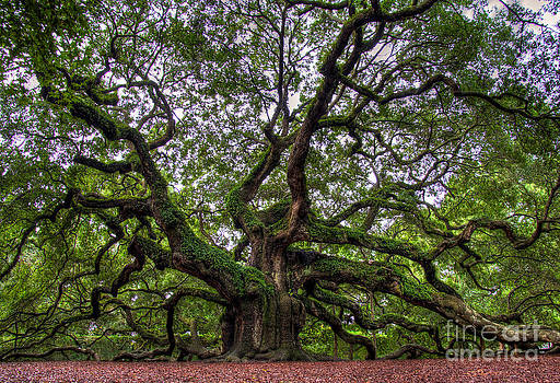Angel Oak Tree by Douglas Stucky