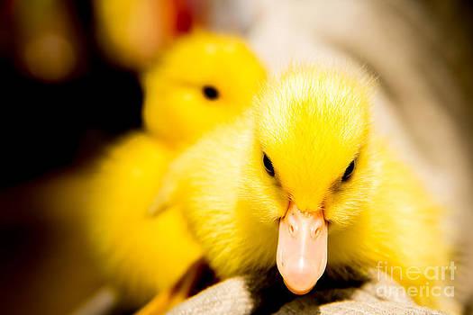 Angry duck by Frederiko Ratu Kedang