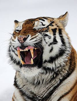 Alex Sukonkin - Angry Siberian Tiger portrait