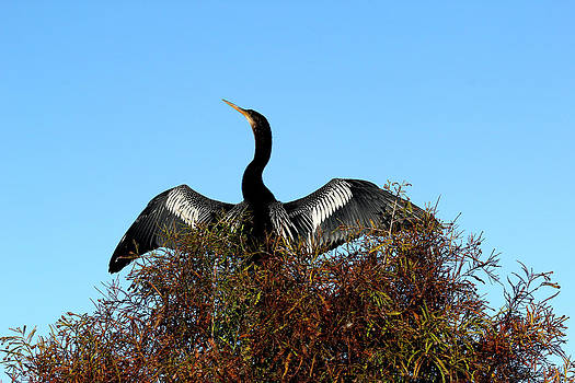 Anhinga Pride by April Wietrecki Green