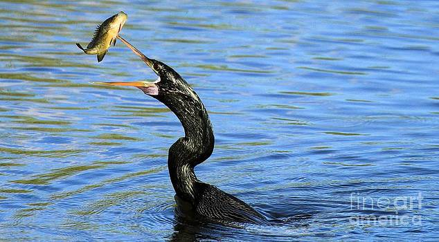 Adam Jewell - Anhinga Volley