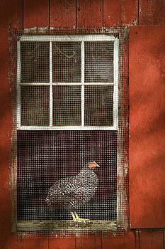 Mike Savad - Animal - Bird - Chicken in a window