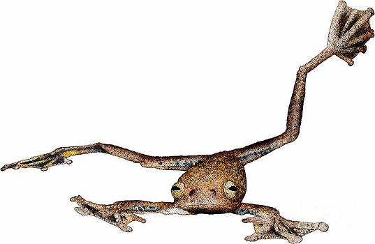 Roger Hall - Annam Flying Frog