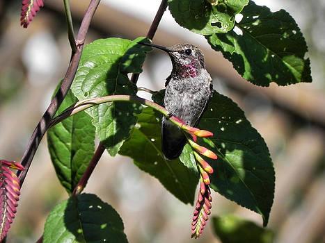 Anna's Hummingbird by Cheryl Hoyle