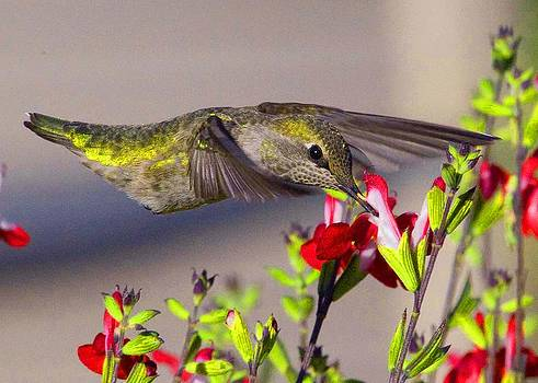 Annas Hummingbird Eating  first place winner by Heide Stover