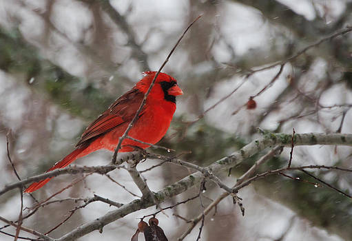 Another Cardinal in the Snow by Lisa Moore