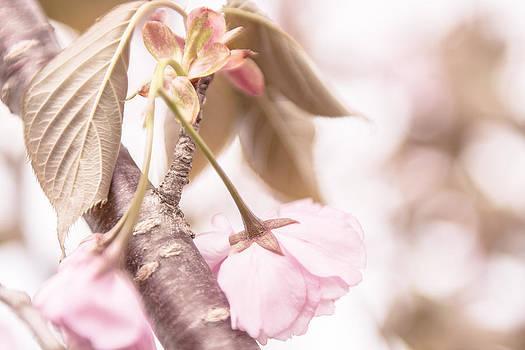 Antique Cherry Blossom by Courtney DeGregorio