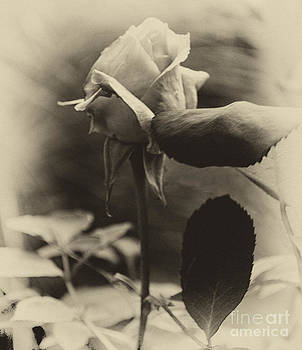 Antique Rose Bud by Eva Thomas