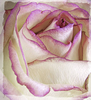 Antique Rose by Patrick Derickson