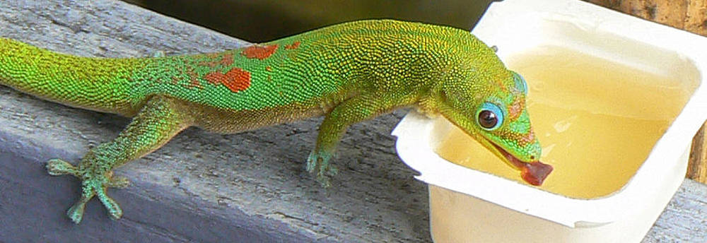 Apple Jelly Gecko by Mark L Watson