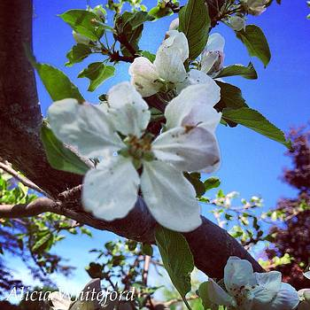 Apple Tree Blossoms  by Alicia Whiteford