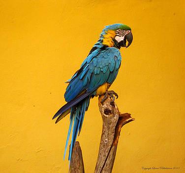 Ara Parrot by Leena Pekkalainen