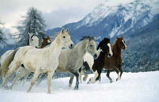 Hans D Dossenbach - Arabian Piebald And Swiss Farm Horses