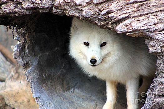 Nick Gustafson - Arctic Fox in a Log