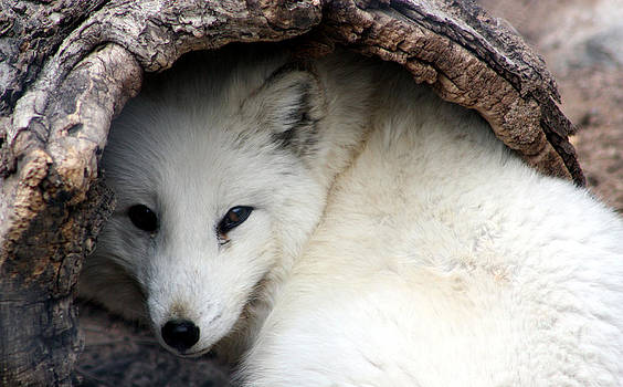 Nick Gustafson - Arctic Fox in log 2