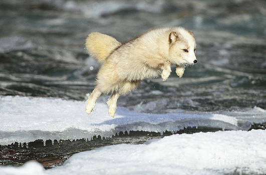 Jeffrey Lepore - Arctic Fox Jumping