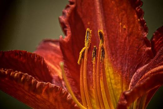 Asian Lily by Patrick Collins