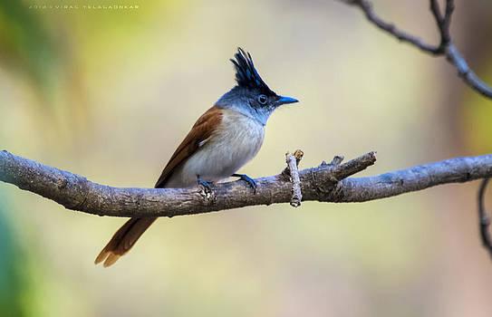 Asian Paradise Flycatcher by Virag Yelegaonkar