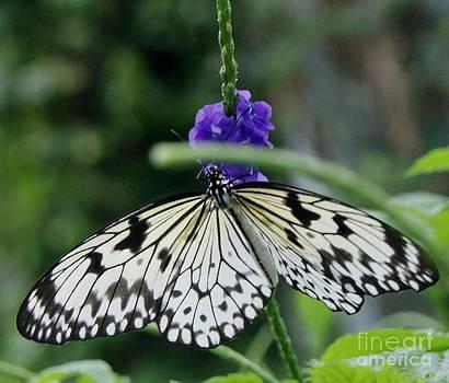 Gail Matthews - Asian Swallowtail Butterfly and Jasmine