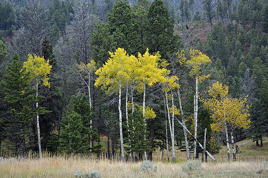 Aspen Autumn in Yellowstone by Bruce Gourley