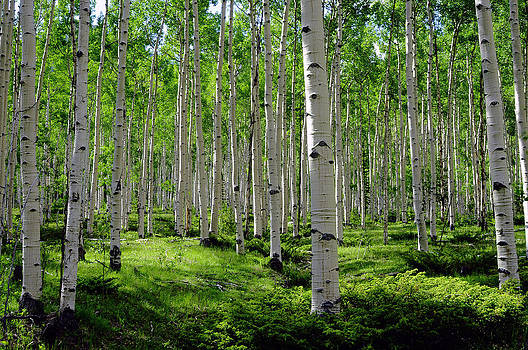 Aspen Glen by The Forests Edge Photography - Diane Sandoval