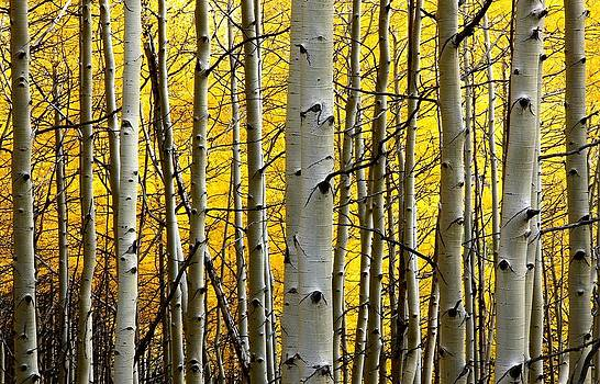 Aspen in full display at Kebler Pass by Jetson Nguyen