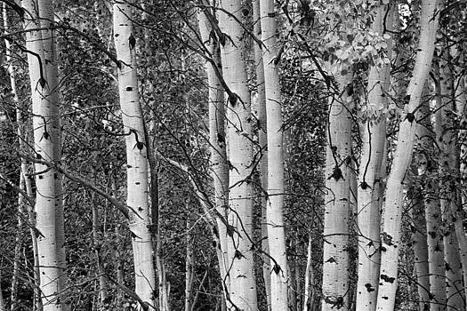 James BO  Insogna - Aspen Splendor in Black and White