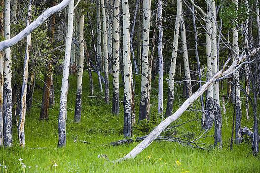 Aspen Trees by Chad Davis