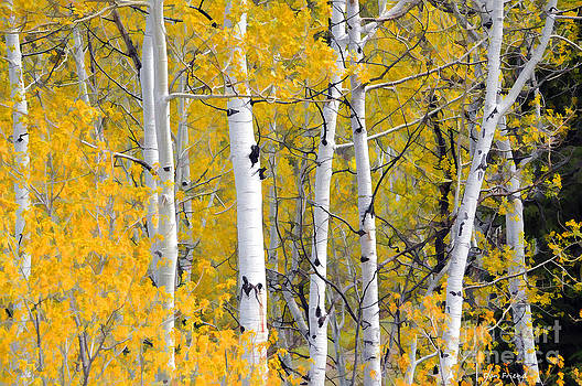 Dan Friend - Aspen trees in fall