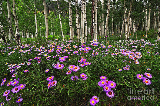 Aspens and Asters by Randy Rogers