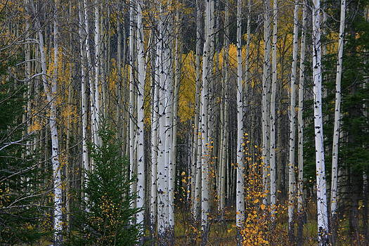 Aspens in the Fall by Ruth Thiessen