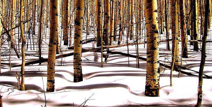 Aspens in Winter by Claudette Bujold-Poirier