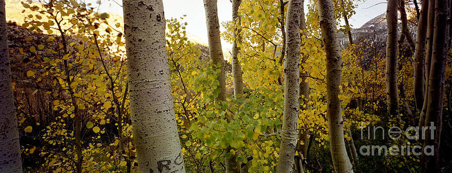 Aspens by Ron Smith