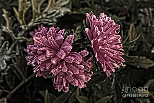 Asters in the Garden by Marjorie Imbeau