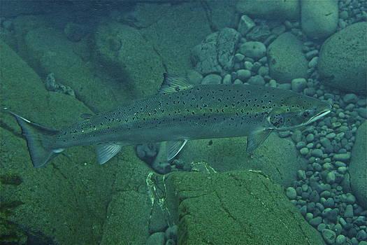 Atlantic salmon in Hafralonsriver by Erlendur Gudmundsson