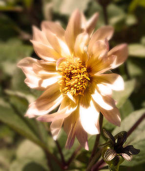 August Dahlia by Katina Borges