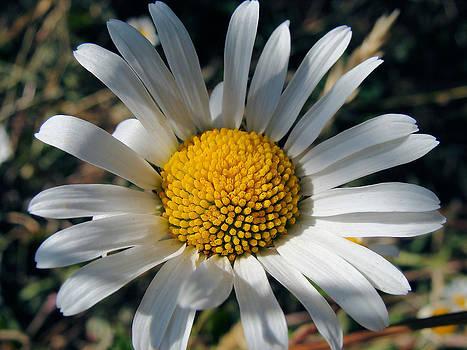 August Daisy by Cheryl Hoyle